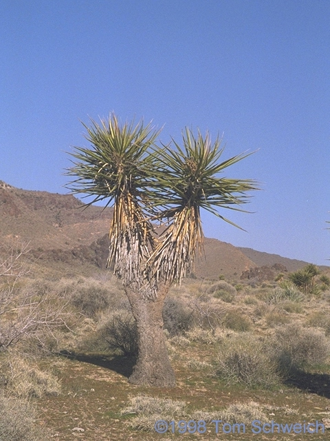 Mohave Yucca (<i>Yucca schidigera</i>) in lower Wild Horse Canyon.
