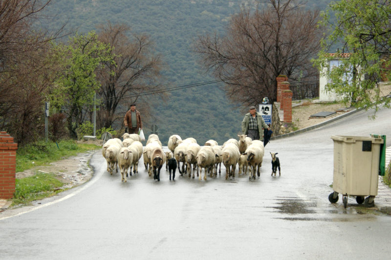 Sheep moving from pasture to pasture along the main road.