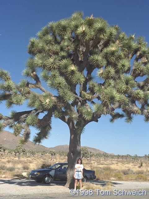 Very large Joshua Tree (<I>Yucca brevifolia</I>) in Joshua Tree National Monument.
